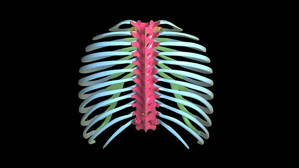 Cuántas costillas tiene el ser humano? | corazón | pulmones ...