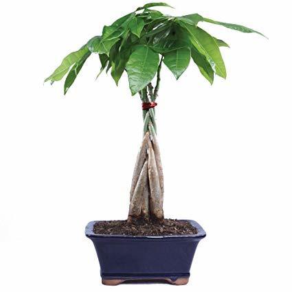 árbol entrelazado