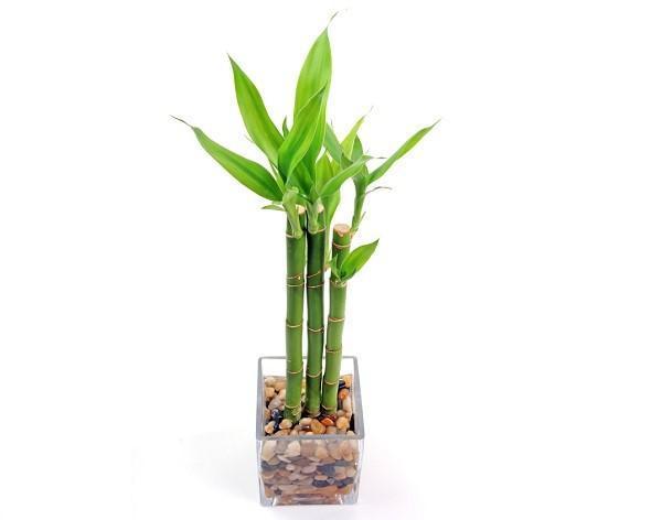 bambú en minituara