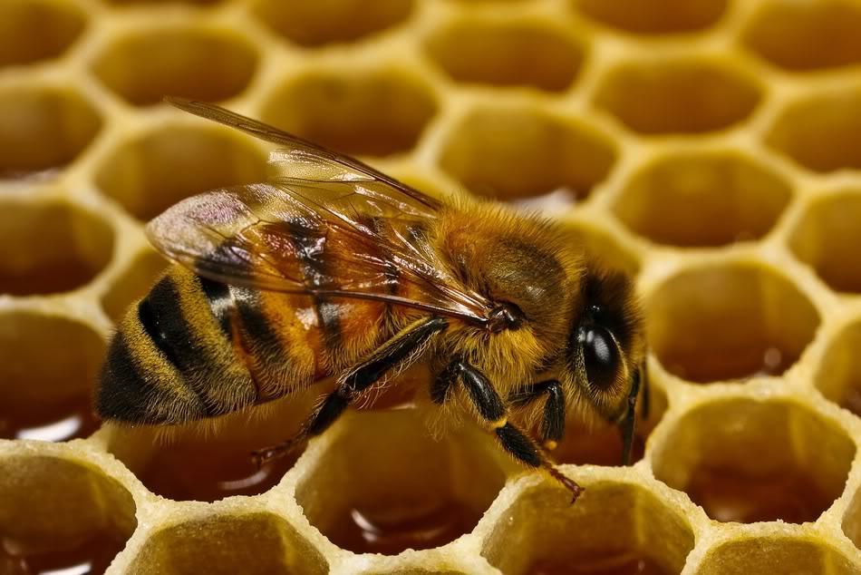 abeja redescubierta
