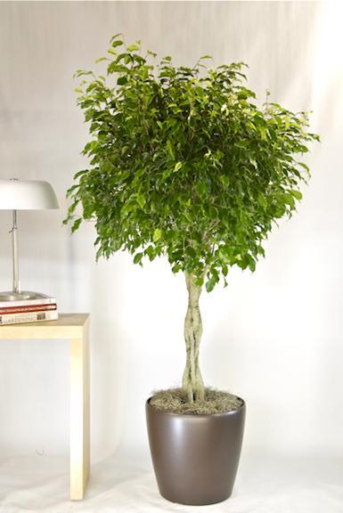Ficus Benjamina para interiores