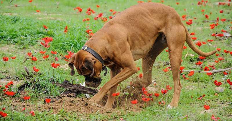 perro esconde comida