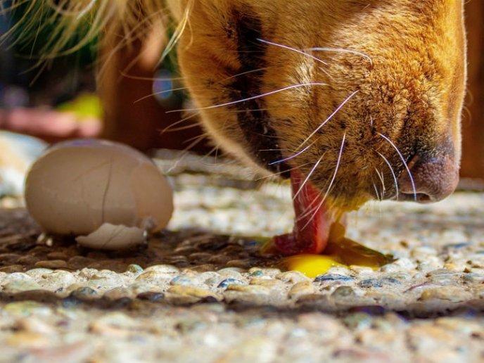 Perro come huevo