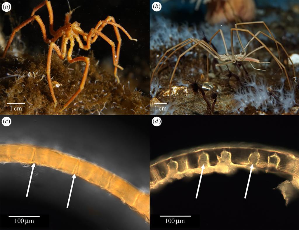 arañas marinas Antártida