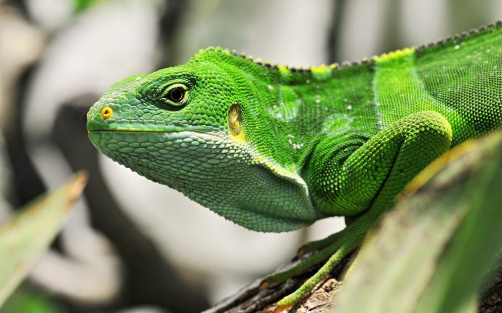 iguana durmiendo