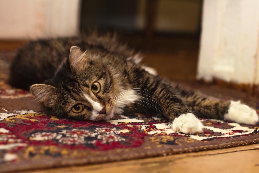 gato en alfombra
